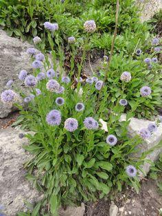 Gewöhnliche Kugelblume (Globularia punctata)