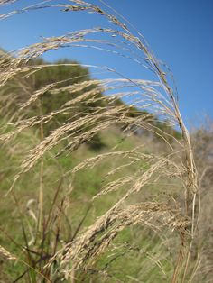 smilo grass from California State University East Bay , Hayward, CA, US on January 15, 2015 by Chris Cook