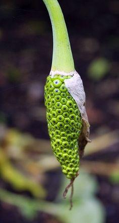 Calla lily seed pod,