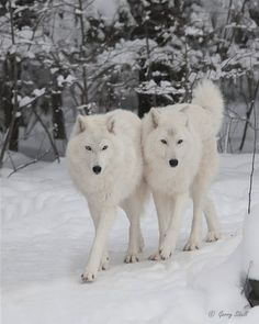white-animals-snow-15