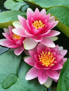 Water lilies Water lilies The post Water lilies appeared first on Easy flowers.