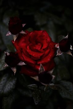 https://flic.kr/p/HeZ9gG | Crimsom Roses | Portland, Oregon