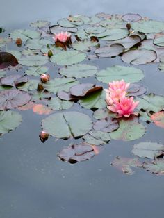 pond blooms