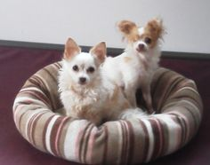 SarahJoyJoy and Bathsheba is an adoptable Chihuahua Dog in Cropseyville, NY. My name is Ida and these are my little angels, Bathsheba and Sarajoyjoy. Bathsheba, named after the most beautiful woman in...