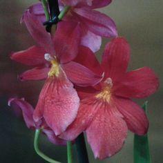 Orchidée cambria