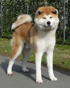 Purebred dogs can get expensive. Here's how much money you can expect to spend on the most expensive dog in the world, including rottweilers . Japanese Dog Breeds, Japanese Dogs, Akita Inu Puppy, Shiba Inu, Black Lab Puppies, Dogs And Puppies, Corgi Puppies, Most Expensive Dog, American Akita