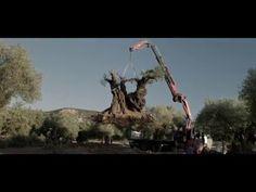 EL OLIVO  - Trailer HD - Estreno 6 Mayo ➡⬇ http://viralusa20.com/el-olivo-trailer-hd-estreno-6-mayo/ #newadsense20