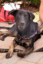 Phoenix is an adoptable German Shepherd Dog Dog in Alpharetta, GA. Phoenix is a wonderful female German Shepherd mix. We think she is about 1.5 years old. Her foster mom fell in love with her when she...