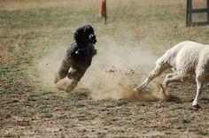 Herding poodles