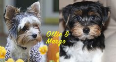 "Meet Ollie and Margo — Dogtology's Dogs of the Month for November! Fun Facts about these adorable pups: > Both Ollie and Margo sleep in their crates at night. Margo would love to sleep with Ollie but has to settle for her crate being next to his. She circles both crates two times each night before she enters her crate. If she ""accidentally"" enters Ollie's crate, he tells her to GET OUT. > Ollie loves laying on the loveseat in our den. He gets into comical positions on his back. He also loves"