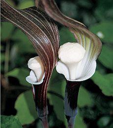 Full Shade Perennials and Part Shade Perennial Plants available - White Flower Farm