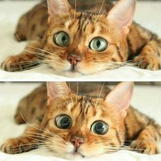Look out......getting ready to pounce! Cat Eyes, Cat Face, Beautiful Cats, Lovely Eyes, Amazing Eyes, Pretty Cats, Animals Beautiful, Amazing Things, Baby Animals
