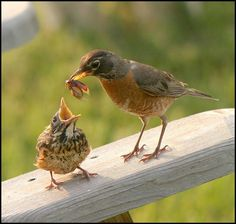 A Mama Robin with lunch for her chick