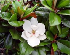 The flower off a Magnolia Teddy Bear Tree. Beautiful evergreen tree and very drought resistant.