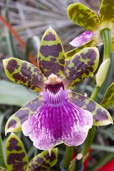 Identify your orchid by viewing this orchid photo gallery.: Zygopetalum Orchid
