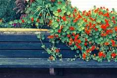I love nasturtiums. My mother says that nasturtiums are the most loyal plants and she could grow anything. Vogue once asked if they could do an article on her house and garden in Vogue Living. 10 plants you can't kill gallery 3 of 10 - Homelife