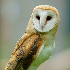 How to Build a Barn Owl Nesting Box: Barn Owl Nest Box Plans #howtobuildabirdhouse