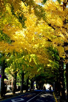 銀杏並木。  (Ginkgo tree roadside trees.)