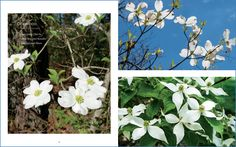 """""""Dogwood"""", a haiku published in These Trees, a coffee table book by photographer Ruthie Rosauer. © F.I. Goldhaber. http://goldhaber.net/poetry.php#Others"""