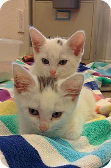 Long Beach, CA - Domestic Shorthair. Meet Star and Smudge, a kitten for adoption. http://www.adoptapet.com/pet/13130777-long-beach-california-kitten