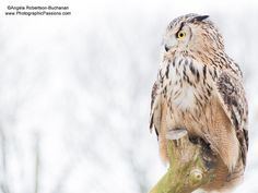 Long Eared Owl looking out onto a wintery day by photographicpassions, $25.00