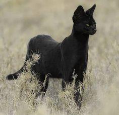 Serval (Leptailurus serval) - Least Concern Rare Cats, Exotic Cats, Rare Animals, Animals And Pets, Beautiful Cats, Animals Beautiful, Big Cats, Cats And Kittens, Melanistic Animals