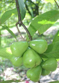 Green water apple or Jambu Air Hijau