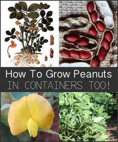 How to Grow Peanuts (In Containers Too!)...http://homestead-and-survival.com/how-to-grow-peanuts-in-containers-too/