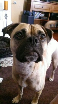 Pug boxer mix. The absolute perfect dog