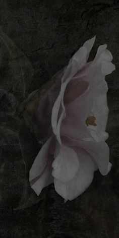 """Flowers in Neutral Moment-2015 """" Camellia Japonica-#9 """" Archival pigment print Printed on cotton rag fine art paper Photo by Soichi Oshika"""