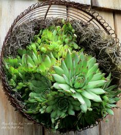 Succulents planted in a wire basket ~ Newark Garden Tour