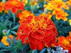 Significado de una flor de caléndula | eHow en Español