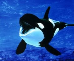 Orca, second only to humans in brain size, displaying complex rituals and spontaneous exhibits of pure joy. - Stop the Dolphin and Orca Slaughter NOW Water Animals, Animals And Pets, Funny Animals, Adorable Animals, Orcas, Cute Animal Photos, Animal Pictures, Animals Photos, Beautiful Creatures