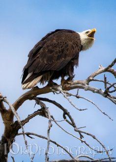 "05/08/14 - ""Papa"" bald eagle, warning an incoming hawk to stay away."