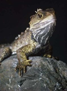 Tuatara are rare, medium-sized reptiles found only in New Zealand. They are the last survivors of an order of reptiles that thrived in the age of the dinosaurs. Lizards, Chameleons, Snakes, Blue Butterfly Wallpaper, Living Fossil, In The Zoo, Kiwiana, Ceramic Animals, Vertebrates