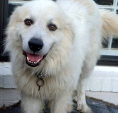 Happy is an adoptable Great Pyrenees Dog in Aurora, CO. Happy is a 4 year old, white, male Great Pyrenees. True to his name, he is a very cheerful boy who has a wonderful smile and his tail wags const...
