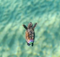 Best photos, images, and pictures gallery about baby sea turtle - sea turtle facts. Best photos, images, and pictures gallery about baby sea turtle - sea turtle facts. Cute Little Animals, Cute Funny Animals, Tiny Turtle, Turtle Baby, Baby Sea Turtles, Happy Turtle, Turtle Time, Cute Turtles, Sweet Turtles