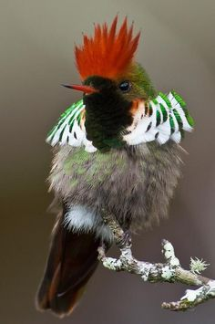 The Rufous-Crested Coquette (Lophornis delattrei) is a species of hummingbird in the Trochilidae family. It is found in Bolivia, Colombia, Ecuador, Panama, and Peru. Its natural habitats are subtropical or tropical moist lowland forests, subtropical or tropical moist montane forests, and heavily degraded former forest.