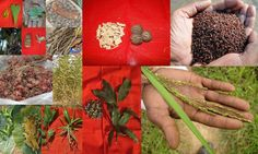 Medicinal Rice based Tribal Medicines for Diabetes Complications and Metabolic Disorders (TH Group-643) from Pankaj Oudhia's Medicinal Plant Database