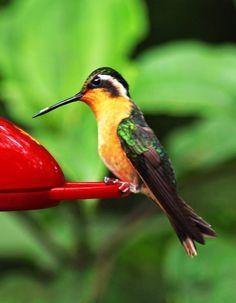 Yellow Hummingbird