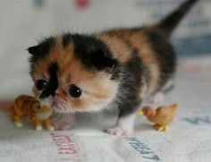 Tiny little munchkin cat! So cute!
