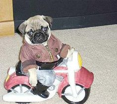 13 Pugs in Costumes | smoothfm