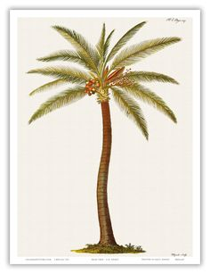 Coconut Palm Tree (Cocos nucifera) - From Griffith ...