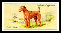 """Ogden's Cigarettes """"Dogs"""" (set of 50 issued in Irish Terrier Vintage Dog, Vintage Prints, Dog Artwork, Irish Terrier, Birds Of America, Game Birds, New York Public Library, Old Postcards, Animals Of The World"""