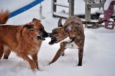 My parents dog playing in the snow with my dog.