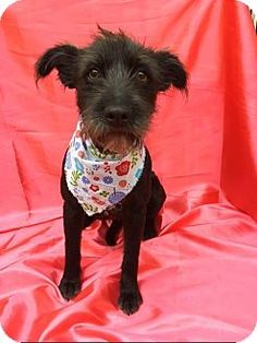 Pictures of CHLOE a Terrier (Unknown Type, Medium)/Schnauzer (Standard) Mix for adoption in pasadena, CA who needs a loving home.