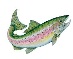 Rainbow Trout Pictures Free | Fly Fishing Flies - Iridescent Decal - Rainbow Trout (Action) - FD-TRA