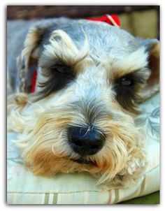 """Schnoodle ~ looks very much like our willie  ARE YOU SUre this isn't """"our"""" barking Willie...he IS adorable like this one"""