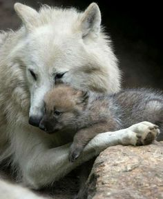 At the Berlin Zoo in Germany, a wolf pup is seen snuggling up to its mother in their enclosure. Arent they adorable? At the Berlin Zoo in Germany, a wolf pup is seen snuggling up to its mother in their enclosure. Arent they adorable? Animals And Pets, Baby Animals, Cute Animals, Wild Animals, Strange Animals, Wolf Spirit, Spirit Animal, Beautiful Creatures, Animals Beautiful