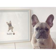 Buddy, the French Bulldog